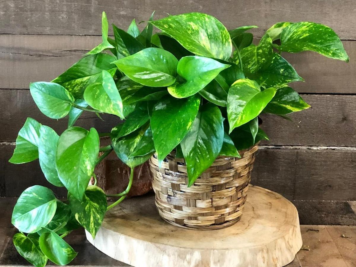 Купить комнатные растения в сбс мебель